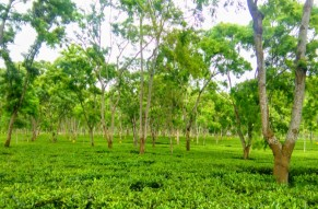 Tea Gardens Tour of Assam