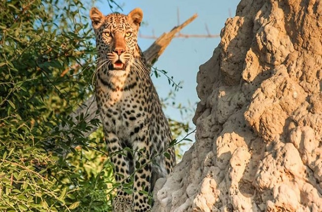 Private Leopard Safari Activity from Jodhpur